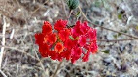 Fiore rosso in terra sterile Fotografie Stock Libere da Diritti