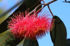 Fiore rosso tropicale in fioritura Fotografia Stock
