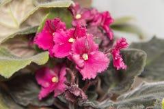 Fiore rosso in un POT Immagine Stock Libera da Diritti