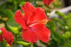 Fiore rosso vibrante dell'ibisco fotografie stock libere da diritti