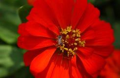 Fiore rosso vivo con le api nel mezzo Fotografie Stock Libere da Diritti
