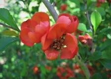 Fiore rosso, Zidonia Fotografie Stock Libere da Diritti