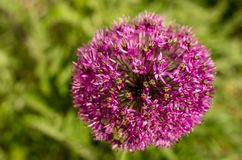 Fiore rotondo rosa su fondo verde, giganteum dell'allium Immagini Stock Libere da Diritti