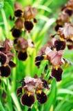 Fiore rugiadoso dell'iride di Borgogna nel giardino Fotografia Stock Libera da Diritti