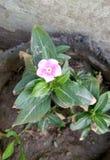 Fiore sadabahar immagine stock libera da diritti
