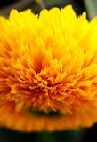 Fiore sbalorditivo dell'oro in fioritura fotografie stock libere da diritti