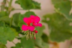 Fiore sbocciante del geranio Fotografia Stock Libera da Diritti