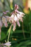 Fiore sbocciante della hosta nel giardino Fotografia Stock Libera da Diritti