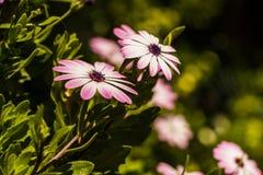 Fiore sbocciante della primavera Immagine Stock Libera da Diritti