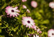 Fiore sbocciante della primavera Fotografia Stock Libera da Diritti