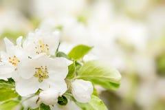 Fiore sbocciante in primavera Immagini Stock