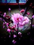 Fiore scuro della mela Fotografia Stock