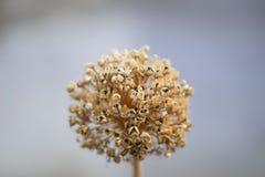 Fiore secco Fotografie Stock
