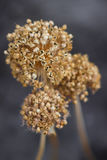 Fiore secco Fotografia Stock
