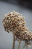 Fiore secco Immagine Stock