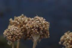 Fiore secco Fotografia Stock Libera da Diritti