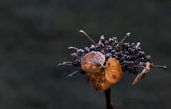 Fiore secco con i cristalli di ghiaccio Fotografie Stock Libere da Diritti