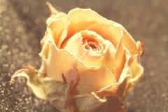 Fiore secco della rosa di beige Macro Bokeh Immagini Stock
