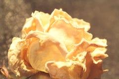 Fiore secco della rosa di beige Macro Bokeh Fotografia Stock Libera da Diritti