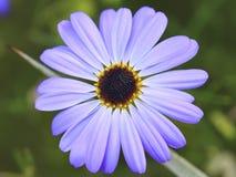 Fiore selvaggio 01 Fotografie Stock