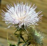 Fiore selvaggio Immagini Stock Libere da Diritti