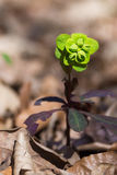 Fiore selvaggio Fotografia Stock