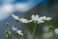 Fiore selvaggio al villaggio di Borong, Sikkim, India Immagini Stock