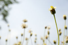 Fiore selvaggio con il fondo della sfuocatura Immagini Stock Libere da Diritti
