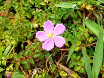 Fiore selvaggio con le gocce di rugiada Fotografie Stock