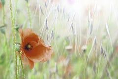 Fiore selvaggio del campo del papavero Immagini Stock