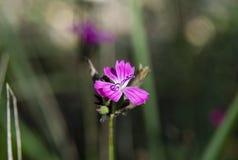 Fiore selvaggio del garofano su fondo vago fotografia stock libera da diritti