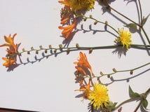 Fiore selvaggio del giardino arancio e giallo del paese Fotografie Stock Libere da Diritti