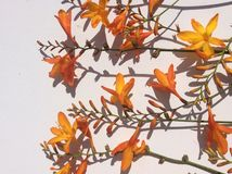 Fiore selvaggio del giardino arancio del paese Fotografia Stock