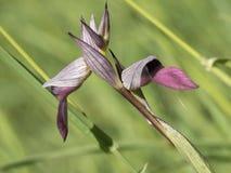 Fiore selvaggio del lingua di serapias dell'orchidea Fotografia Stock