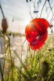 Fiore selvaggio del papavero Chiuda su in campo e sole del papavero Florida rossa del papavero Immagine Stock