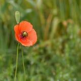 Fiore selvaggio del papavero sui precedenti verdi Fotografia Stock Libera da Diritti