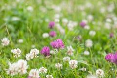 Fiore selvaggio del trifoglio di rosa del prato in erba verde nel campo alla luce solare morbida naturale, stagione estiva, annat immagine stock