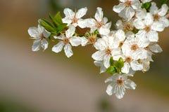 Fiore selvaggio dell'albero Fotografie Stock