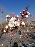 Fiore selvaggio dell'albicocca immagine stock libera da diritti