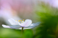 Fiore selvaggio dell'anemone di legno che galleggia nel verde Immagine Stock Libera da Diritti