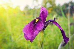 Fiore selvaggio dell'iride Fotografia Stock Libera da Diritti