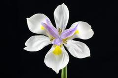 Fiore selvaggio dell'iride isolato Fotografie Stock Libere da Diritti
