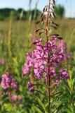 Fiore selvaggio dell'Salice-erba nel campo di sera Immagini Stock Libere da Diritti