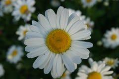 Fiore selvaggio della margherita, il mondo naturale immagini stock libere da diritti