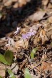 Fiore selvaggio 04 della primavera Immagine Stock
