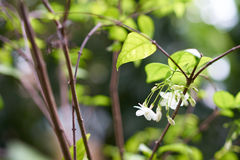 Fiore selvaggio della prugna dell'acqua Immagine Stock