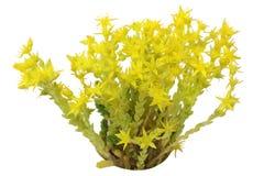 Fiore selvaggio della stella Fotografie Stock Libere da Diritti