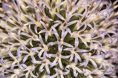 Fiore selvaggio della viola pallida Immagini Stock