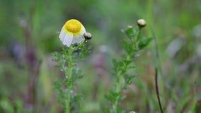 Fiore selvaggio di Gem Crown Daisy della primaverina di chrysanthemum coronarium un giorno piovoso in natura video d archivio