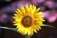 Fiore selvaggio di Sun Immagini Stock Libere da Diritti
